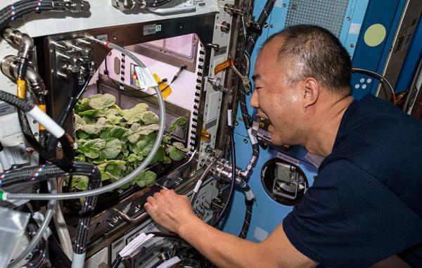 تربچه های کاشته شده در ایستگاه فضایی بین المللی به بار نشست